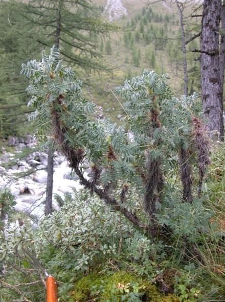 Карагана гривастая
