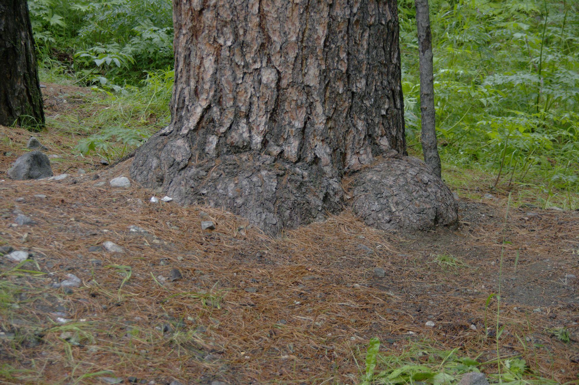 Фото вековых кедров