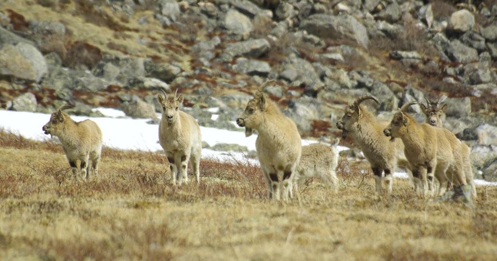 Фото стада горных козлов