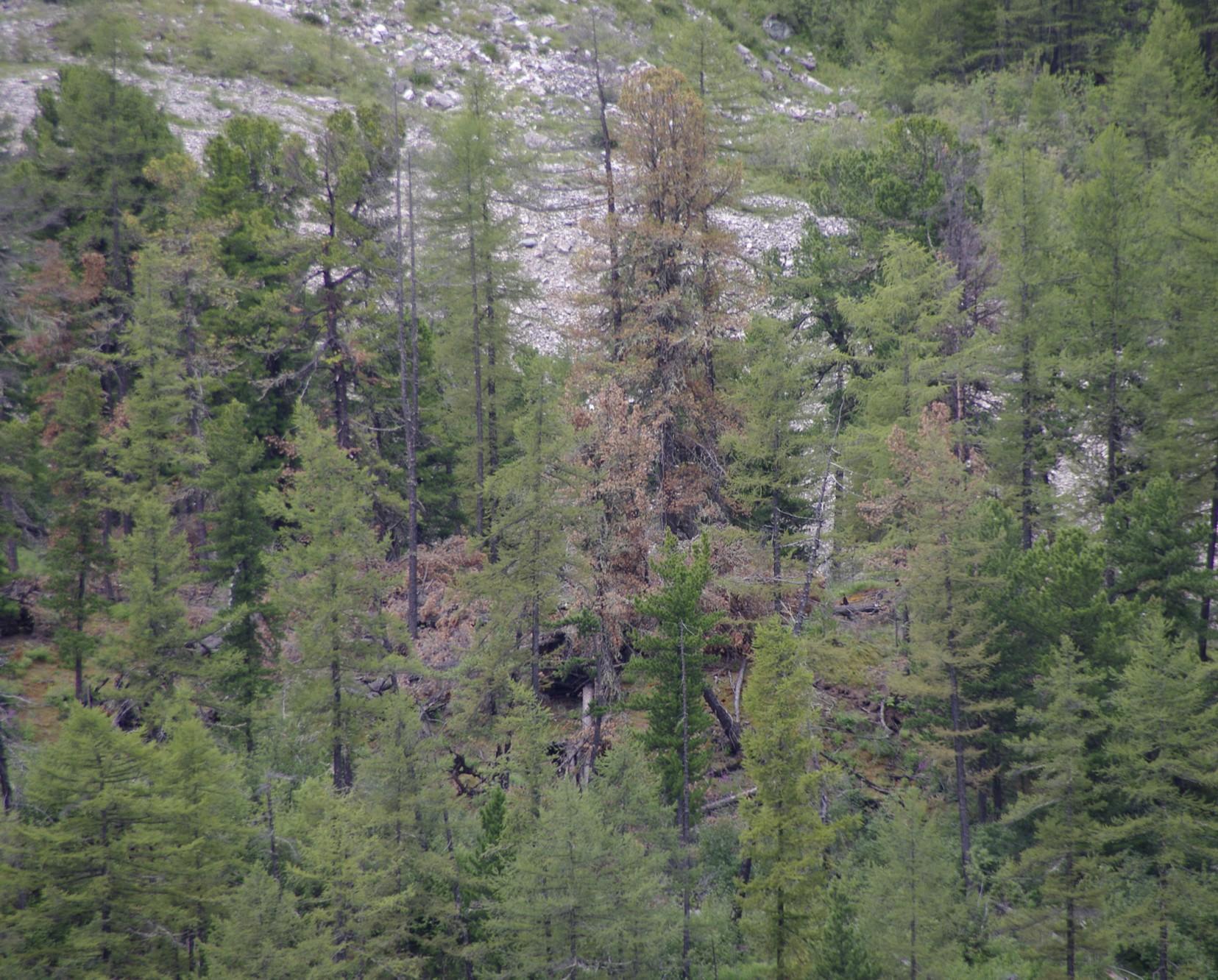 фото пожелтевших кедров